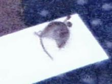 An employee took this picture of a mouse stuck on a glue board at a Raleigh Pizza Hut.