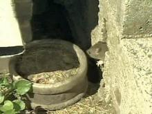 Rats! Man Seeks Help to Rid Home of Rodents