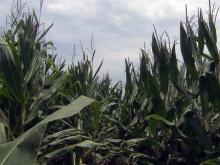 Corn crop, cornfield