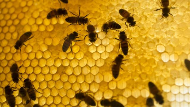 The number of bees in the Burt's observation hive could reach 15,000, the company said. Photos Copyright © D.L. Anderson Pictures 2014