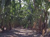 Cornfield, farm generic, crops generic