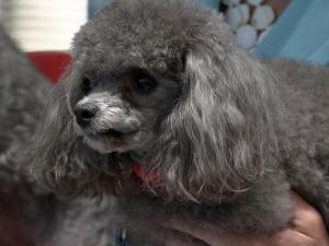 "Poodles star in ""Susie's Hope"""
