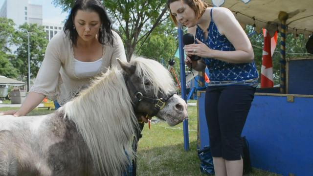 Interviewing a baby horse