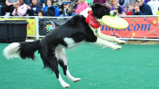Rescued dogs show off their skills during the K9s in Flight show at the NC State Fair.