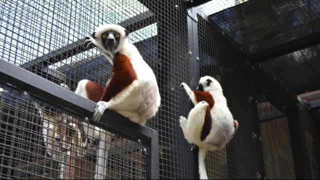 The Coquerel's Sifaka lemurs hang around at the Duke Lemur Center.