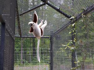 The Coquerel's Sifaka lemur at the Duke Lemur Center