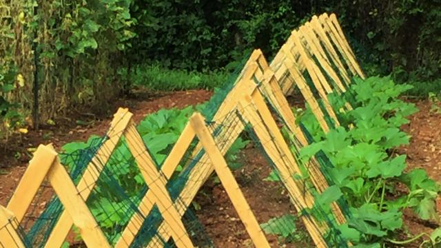 An early start on growing acorn and butternut squash