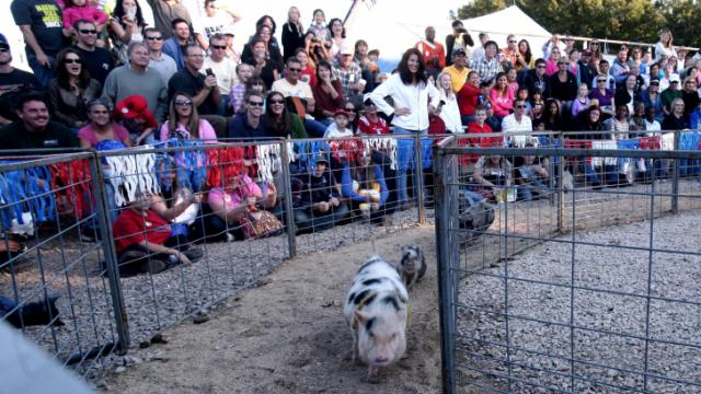 Potbelly pigs are a big crowd pleaser at the North Carolina State Fair animal races on Sunday, Oct. 21, 2012.