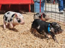 Piglets race at State Fair