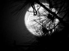 Moon behind pine tree