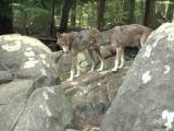 Fall is time to visit wolves, bats at NC Zoo