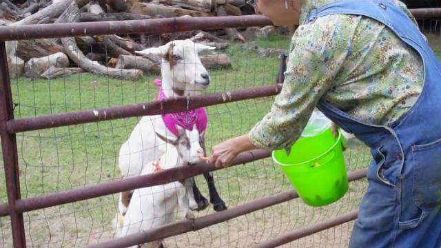 Feeding the goats at Winterpast Farm