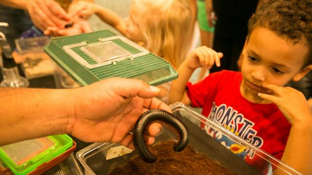 A boy examines a African Giant Millipede during Bugfest at the North Carolina Museum of Natural Sciences on Saturday, September 21, 2013.