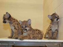 Three cougar kittens enjoying new home at N.C. Zoo.