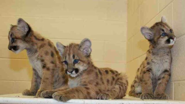 NC Zoo, cougar kittens, March 4, 2014 Photo courtesy, Diane Villa at N.C. Zoo