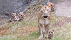 The North Carolina Zoo's new lion cubs are pictured with their mother at the zoo.