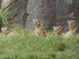The North Carolina Zoo's new lion cubs are pictured in the zoo's lion exhibit.