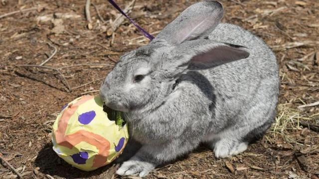 Finn, a young Flemish Giant Rabbit enjoyed treats that were inside his paper mâché egg on Friday. Photo courtesy N.C. Zoo staff.