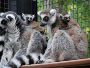 Courtesy: Duke Lemur Center
