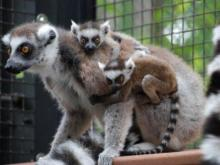 The Duke Lemur Center is the world's largest and most diverse collection of lemurs - Earth's most threatened group of mammals - outside of Madagascar.