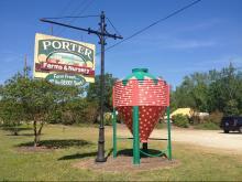 Strawberries at Porter Farms & Nursery