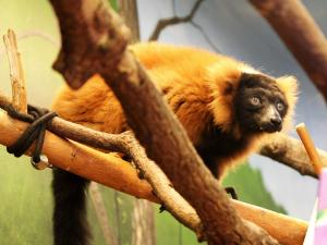 Cynthia, the world's oldest known red ruffed lemur, died Thursday at the Museum of Life and Science