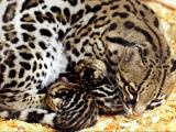 Inca, an ocelot at the N.C. Zoo, with her newborn kittens