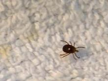 The American dog tick and Rocky Mountain wood tick are the primary transmitters for Rocky Mountain spotted fever.