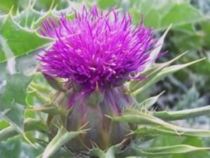 A new study found that an over-the-counter herb, called milk thistle, might help relieve symptoms of chemotherapy patients.