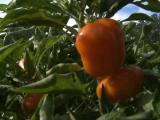 Vegetable garden provides healthy bounty on the cheap