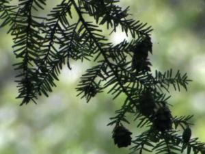For nearly two decades, North Carolina's Hemlock trees have been under attack.