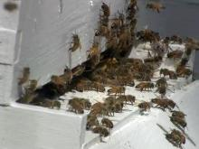 Pesticide could be to blame for collapsing bee colonies