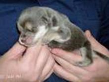 Kobe, a puppy rescued by the Oxford Veterinary Hospital, needs surgery to correct a cleft palate. He is 10 days old in this picture.
