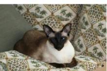 Lost Siamese Cat