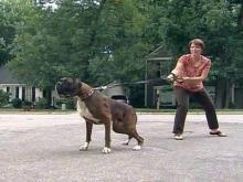 'Bad Dog Challenge' takes on leash puller