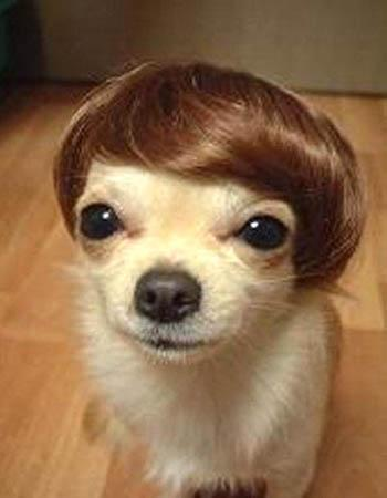 Even if your Chihuahua owns a toupee, she may suffer from luxating patella. Photo from www.bestweekever.tv.