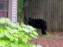Viewer Jennifer Packard of Garner took this photo of a bear off of Woodland Road on May 16, 2011.