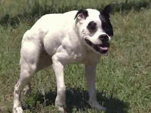 Cuda is a genetically deformed pit bull is trying to become the World's Ugliest Dog.