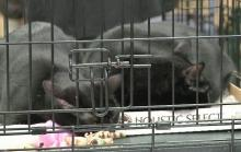 Independent Animal Rescue held a Black Cat Friday show at the PetCo store in Durham. It featured more than a dozen black cats and kittens.