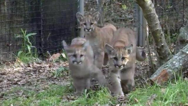 Zoo Files: Cougar cubs