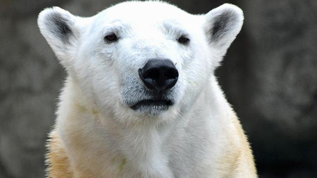 Polar bear Anana at Lincoln Park Zoo. (Photo courtesy of the Lincoln Park Zoo and NC Zoo)