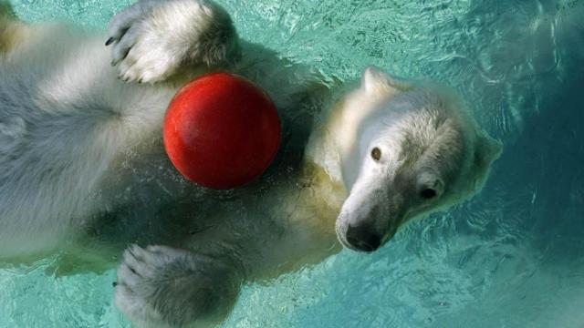 Patches, a 26-year-old female polar bear, died at the North Carolina Zoo on Nov. 16, 2014.