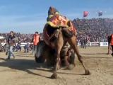 130 camels wrestle during annual Turkish festival