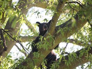 Bear in tree in Roanoke Rapids