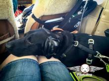 Vixen, a 2-year-old black lab, made a flight from Greenville, South Carolina to Raleigh to find a a new home.