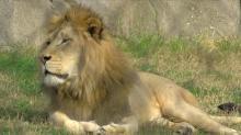 Lion attacks, kills intern from Indiana at North Carolina preserve