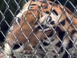 tiger rescue
