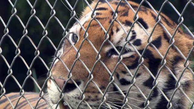 The Carolina Tiger Rescue is located in Chatham County.