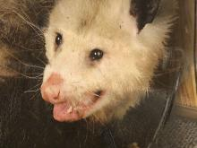 possum drop