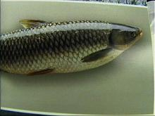 A full-scale model of a grass carp